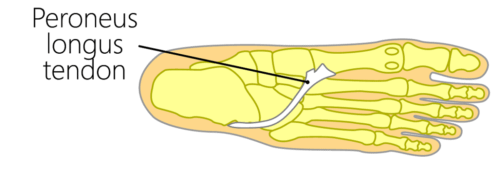 Peroneus longus muscle tendon insertion