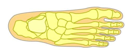 Top of the foot view of bones