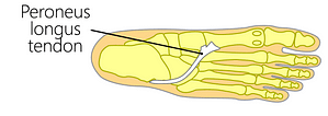Peroneus longus muscle tendon insertion