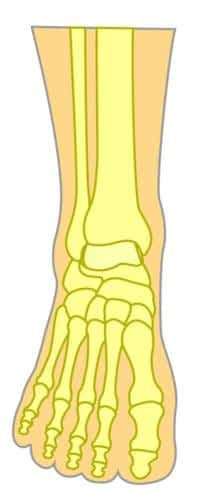 Top of the foot bone structure