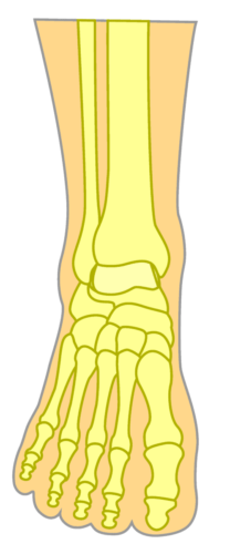 Top of the Foot Bones