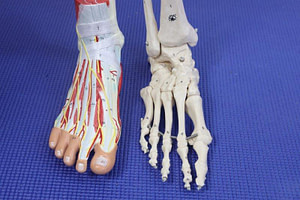 Ankle joint ligaments, muscles and nerves